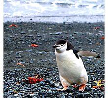 Chinstrap penguins in Antarctica,    10 Photographic Print