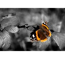 Admiral, Red Admiral Butterfly. Photographic Print