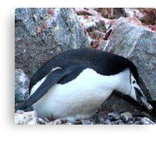Chinstrap penguin in Antarctica,    12 Canvas Print