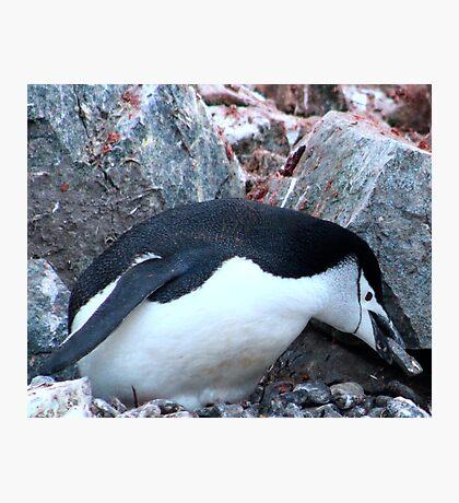 Chinstrap penguin in Antarctica,    12 Photographic Print