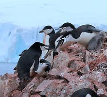 Chinstrap penguins in Antarctica,    14 by Janai-Ami