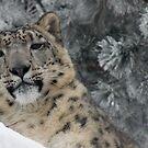 Tibetan Majesty in the snow by starbucksgirl26