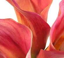 3 Calla Lillies - part 1 by dazrog