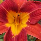 Mom's Daylilies 2 by Rocky Henriques