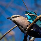 Blue-Bellied Roller by Chris Heising