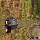 American Coot by Chris Heising