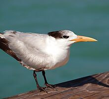 Proud Bird on the Pier, Naples, Florida by Ralph Angelillo