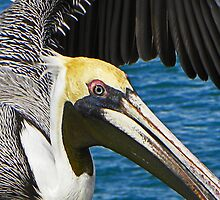 Pelican by gcampbell