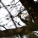 Hairy Woodpecker by Brenda Dow