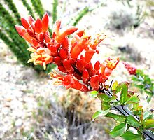 Ocotillo cactus in bloom by ThomHull