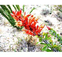 Ocotillo cactus in bloom Photographic Print