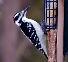 Feeding time for the hairy woodpecker by Josef Pittner