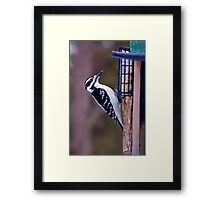 Feeding time for the hairy woodpecker Framed Print