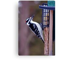 Feeding time for the hairy woodpecker Canvas Print