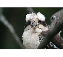 What? You never seen a kookaburra in the wild before?! Photographic Print