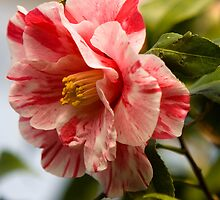Pink Splash Camellia by Mark Wuttke