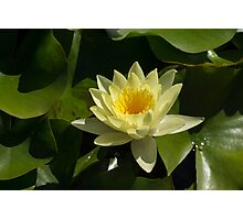 Waterlily in Yellow Photographic Print