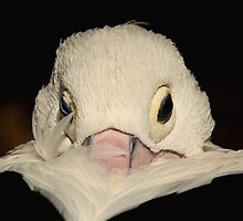 Australian Pelican by Marion  Cullen
