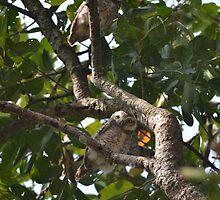 Owlets in Nepal by twoleggedlizard