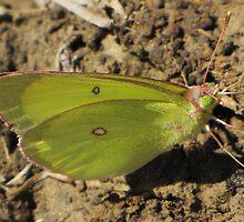 Clouded Sulphur Butterfly by CarrieAnn