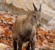 Ibex by Tracey  Dryka