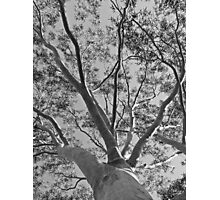 Gumtree Lace Photographic Print