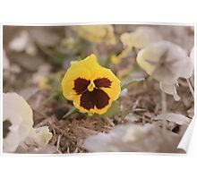 Yellow St.Pat's flower Poster