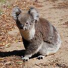 Koala's on The Mornington Peninsula by KeepsakesPhotography Michael Rowley