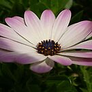 Osteospermum: Whiter Shade of Pale by taiche