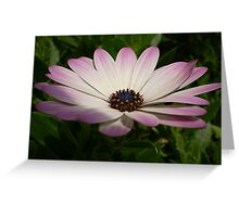 Osteospermum: Whiter Shade of Pale Greeting Card