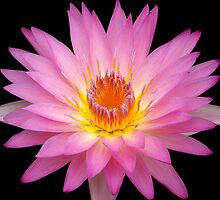 Pink Lily 2 by maureenclark