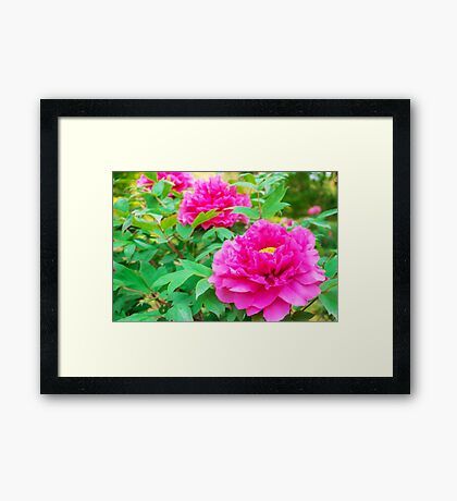 Red flowers of Peony Framed Print
