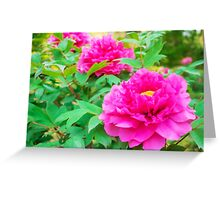 Red flowers of Peony Greeting Card