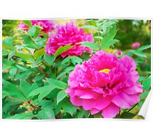 Red flowers of Peony Poster