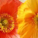 Poppies by Tiffany Dryburgh