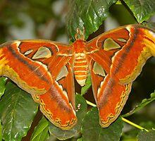 Atlas Moth by PatGoltz