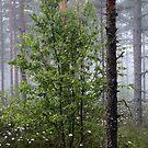 20.6.2015: Birches by Petri Volanen