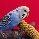 Peppi the Budgie  by Sarah Horsman