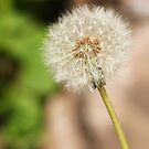 Dandelion Head by shane22