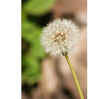 Dandelion Head Photographic Print