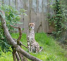 CHEETAH at Paignton Zoo Devon  by Keith Larby