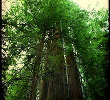 Giant Redwoods by Mark Moskvitch