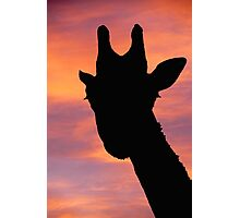 Giraffe silhouette at quirky angle Photographic Print