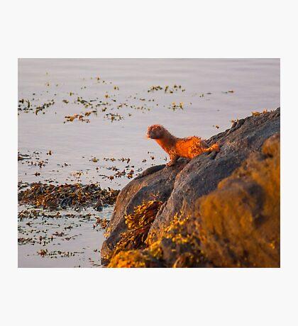 Marine Mink Photographic Print