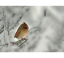 Female Cardinal in Winter Snow Photographic Print
