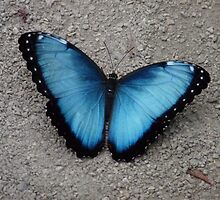 . Common Blue Morpho from Costa Rica by angeljootje