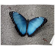 . Common Blue Morpho from Costa Rica Poster