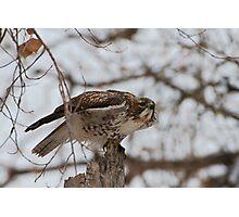 Hawk Photographic Print