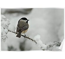 Black Capped Chickadee in Winter Snow Poster