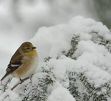 American Goldfinch in Snow Storm by Michael Mill
